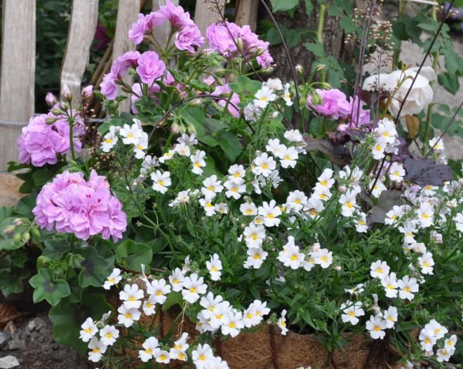Nemesia finns också med vita blommor trots att de orange är vanligast.