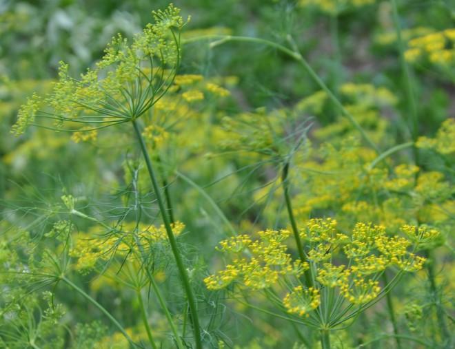 Dill kan gärna odlas i kruka med ny jord varje gång.