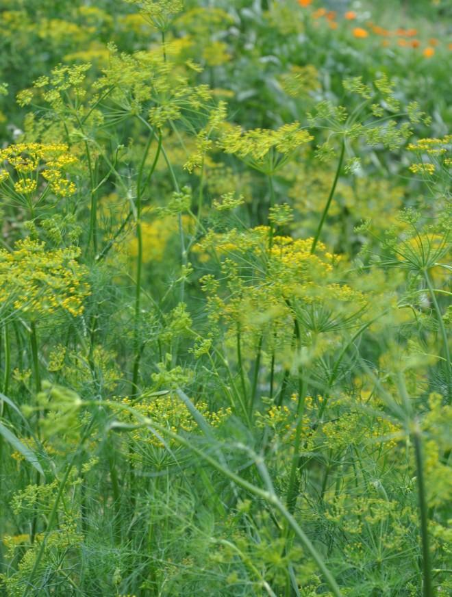 Dill kan vara svårodlad pga svampsjukdomar eller bladlöss.