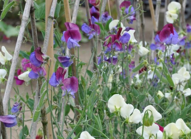 Väldoftande luktärter hör hemma i den engelska köksträdgården.