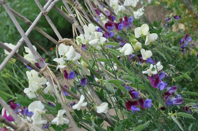 Luktärter är klätterväxter som behöver någon form av stöd för sina rankor.