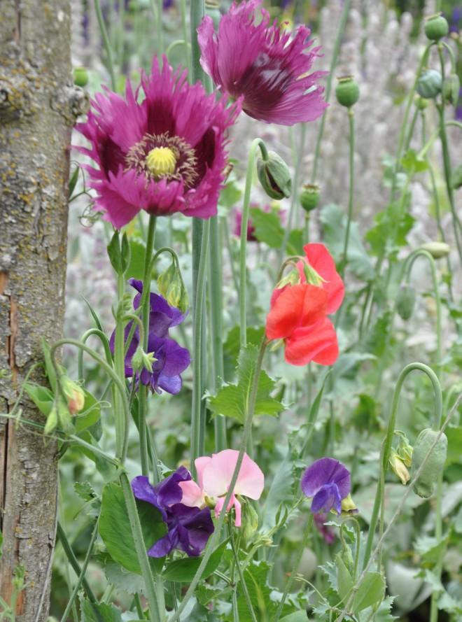 Luktärter kan ta stöd av andra högre växter som vallmo.