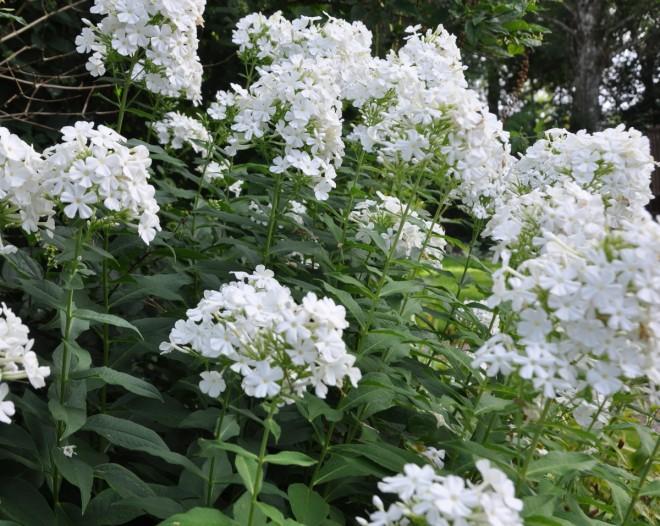 Flox är en väldoftande blomma för mormorsträdgården.