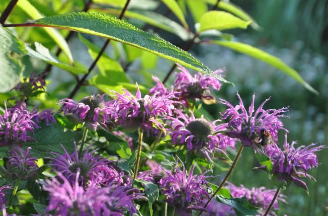 Chelsea chopping är en metod att beskära perenna växter för senare blomning.