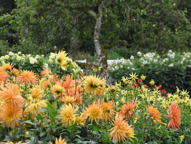 Dahlior planteras gärna tillsammans för att man ska kunna hålla koll på vattning och gödsling.