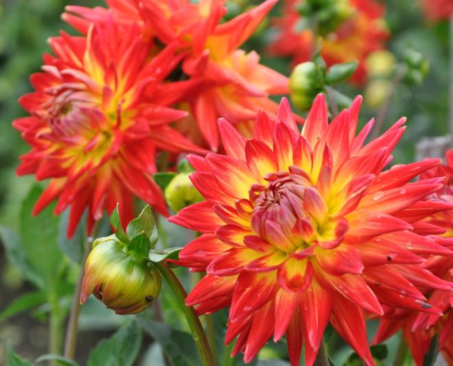 Dahlia är frostkänsliga växter som vinterförvaras inomhus.