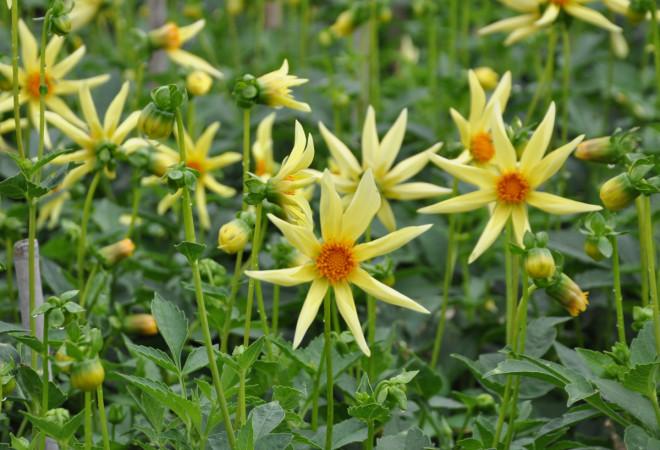 Dahlior gillar kaliumrik gödsel för att blomma bra.