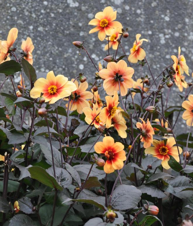 Dahlian kräver en näringsrik jord och vindskyddad växtplats.