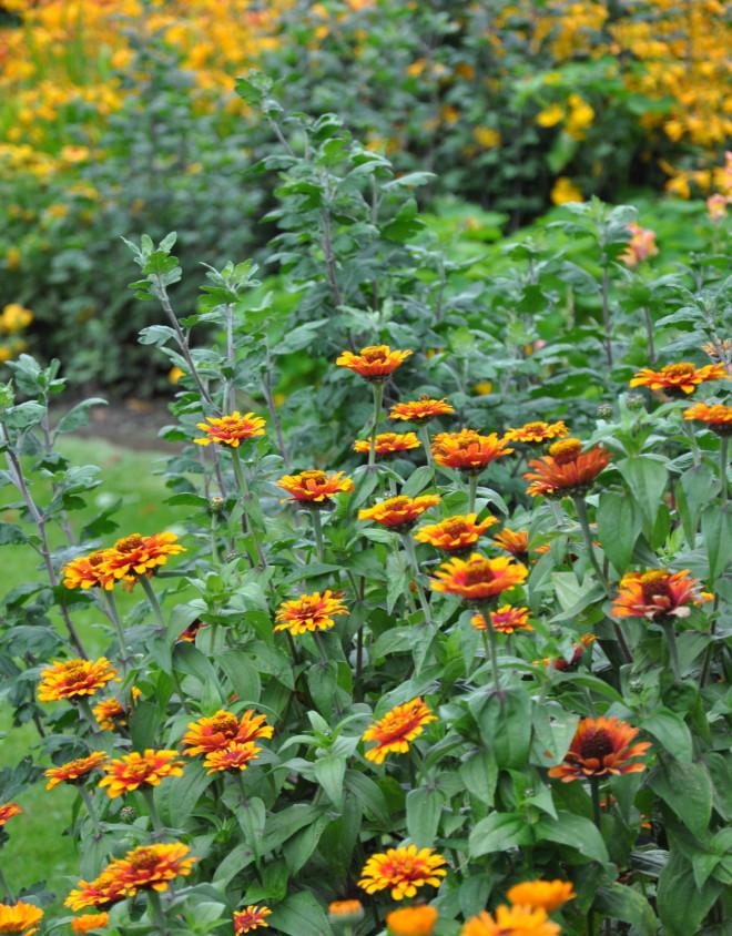 Zinnia drabbas lätt av mögel, så plantera dem inte för tätt.