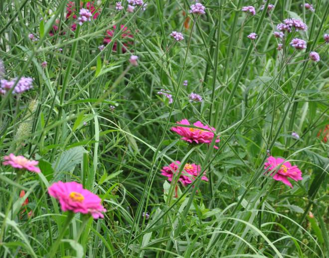 Zinnia kombineras gärna med lite rufsiga växter för att få en stark kontrast.