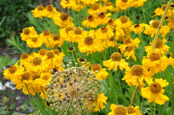 Solbrudar finns i olika gula och roströda nyanser.