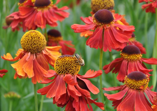 Solbrudar drar till sig bin och andra insekter.