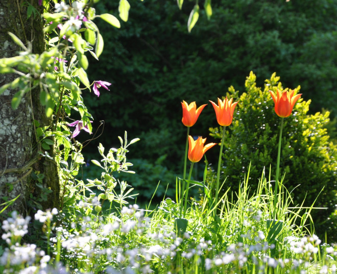 Tulpaner kan blomma fint i gräsmattan.