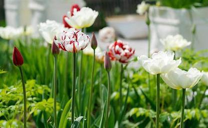 Carnaval de Nice är en spektakulär tulpan som blommar sent på våren.