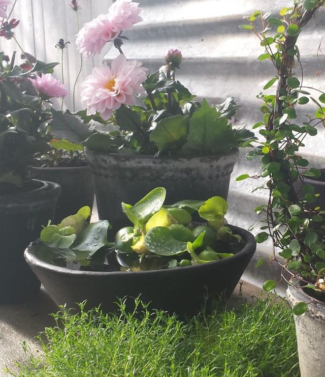 Vattenhyacinten sprider sig starkt och kan bli ett ogräs.