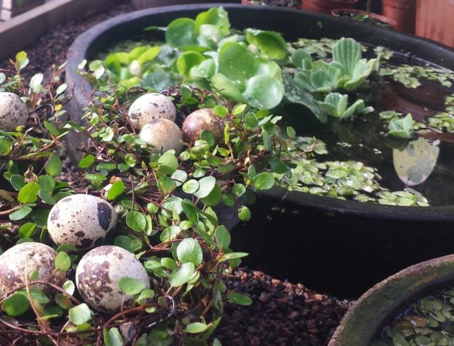 Musselblad är en fritt flytande vattenväxt med dekorativa blad.