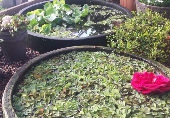 Simbräken är en vattenväxt med små, avlånga blad.