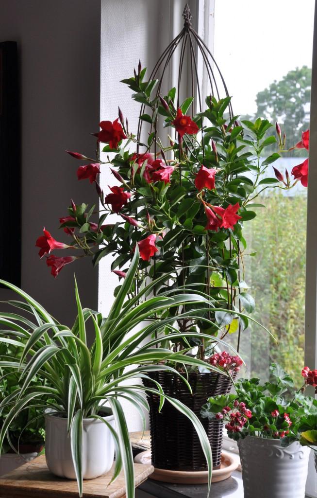 Mandevillan ska flytta in till vintern om du vill behålla din planta.