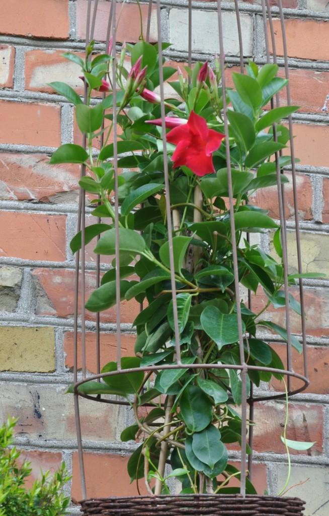 Bägarranka kan övervintras frostfritt inomhus i ljust fönster.