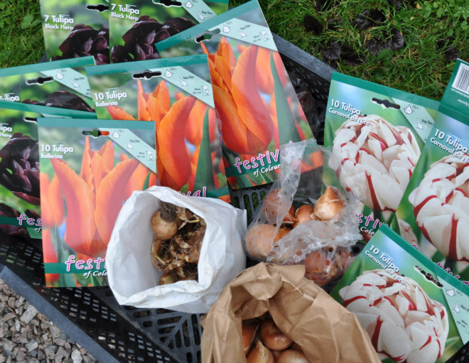 Bästa tid för plantering av blomsterlök är nu.