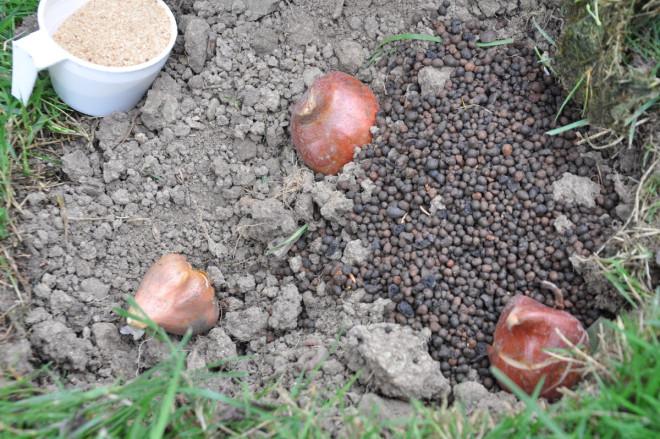 Tulpaner trivs inte i lerjord utan vill ha det torrt om somrarna.