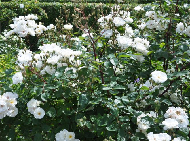 Vita rosor har ofta en god doft.