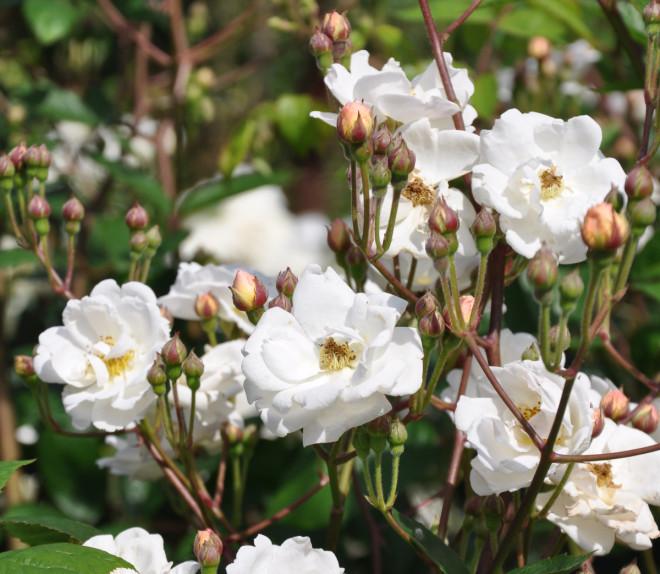 Myskdoftande rosor med stora blomklasar har Trier.