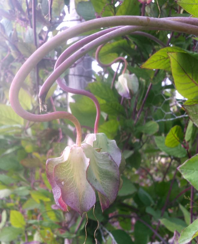 Klockrankan blommar sent och behöver en varm sommar.