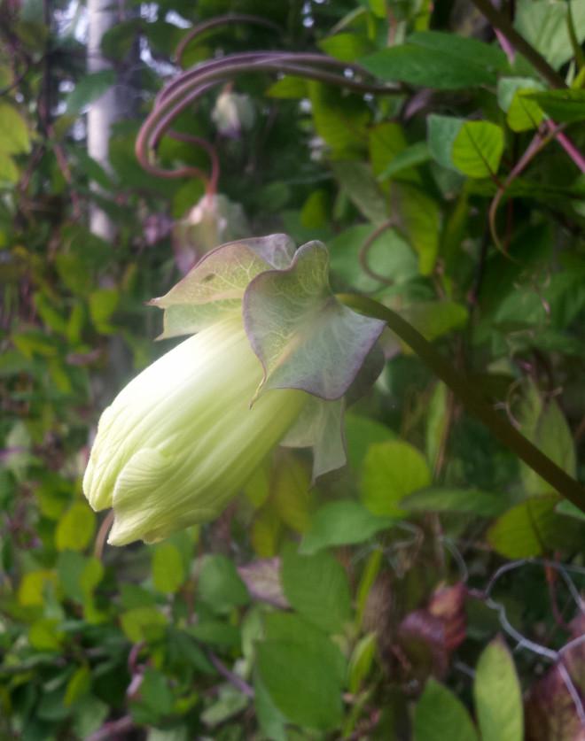 Klockrankan finns med lila eller vita blommor.