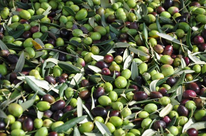 Oliverna som pressas till olja är både gröna och svarta.