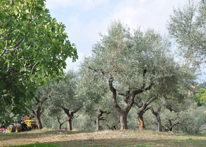 Olivträden står på raka rader.