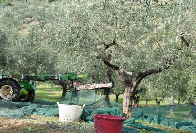 Maskiner används vid olivskörden.