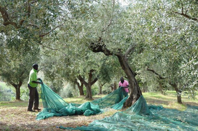 Olivoljan pressas från de små, oljerika olivfrukterna.