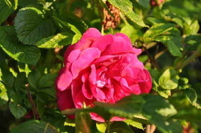 Vresrosen är ett bra alternativ till läplanteringar.