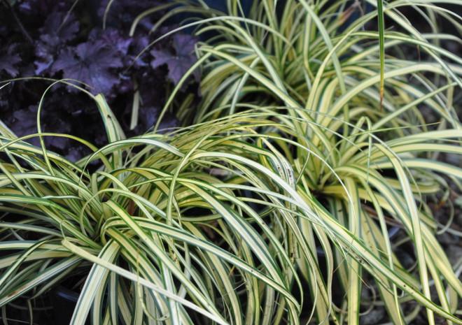 Brokbladiga gräs lyser upp i skuggiga lägen.
