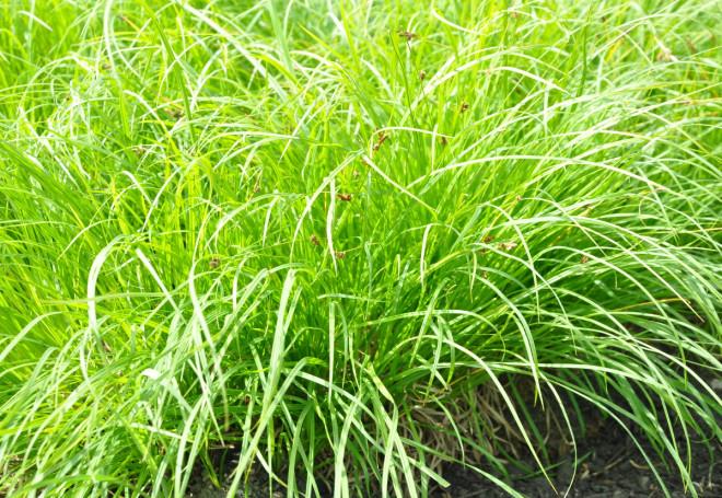 Starrgräs trivs i fuktig jord.