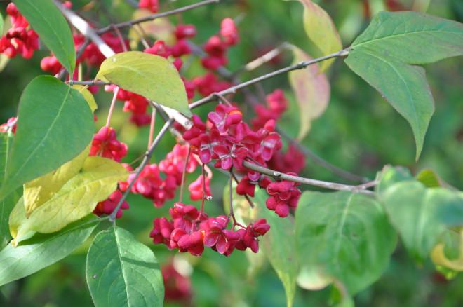 Benvedens frukt lyser i rosa och orange.