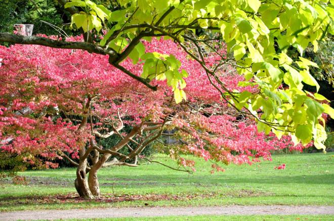 Benveden har en lysande rosa höstfärg.
