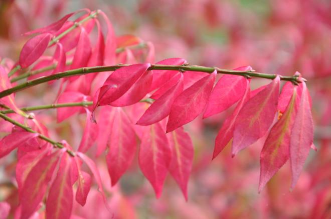 Motsatta blad och utdragna bladspetsar på benved.
