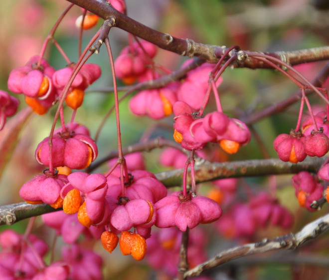 Benveden har fin höstfärg och granna frukter.