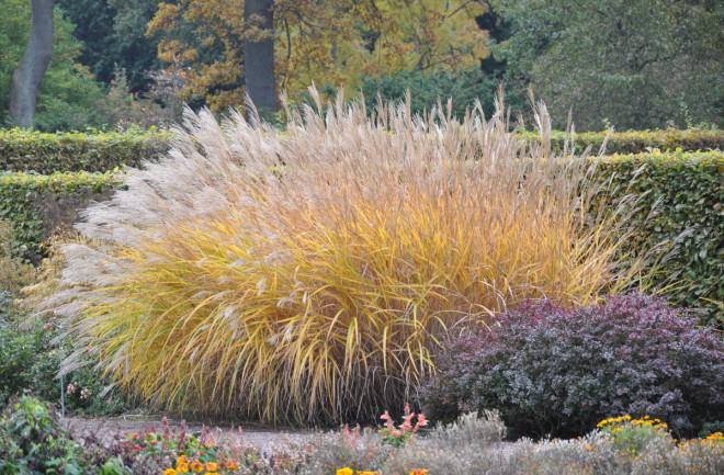 Miskantus är ett grässläkte med många vackra prydnadsgräs.
