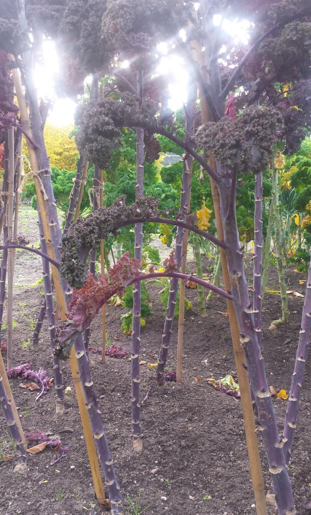 Kålplantan kan behöva stammas upp och den blir väldigt hög.