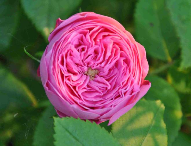 Louise Odier är en rosa ros med underbar doft.