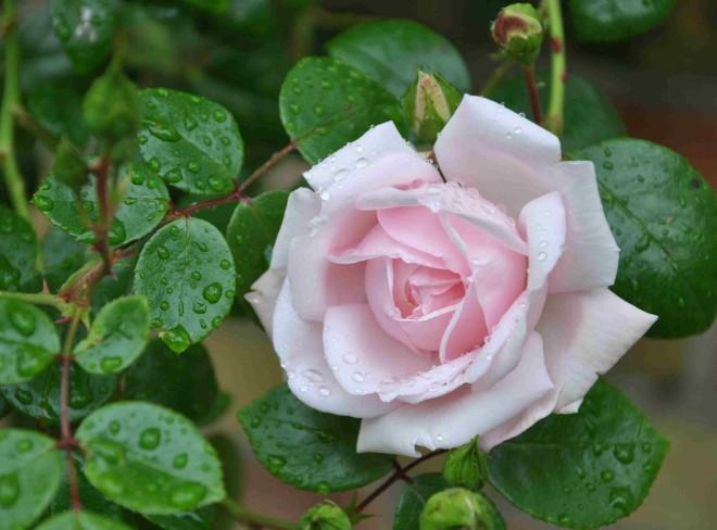 Mjöldagg kommer på rosor vid fuktig väderlek.