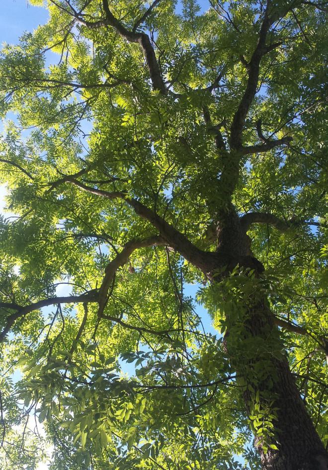 Asken är ett träd som tål vind väl.