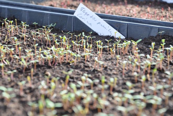 Tagetes frö gror lätt i fuktig torvjord.
