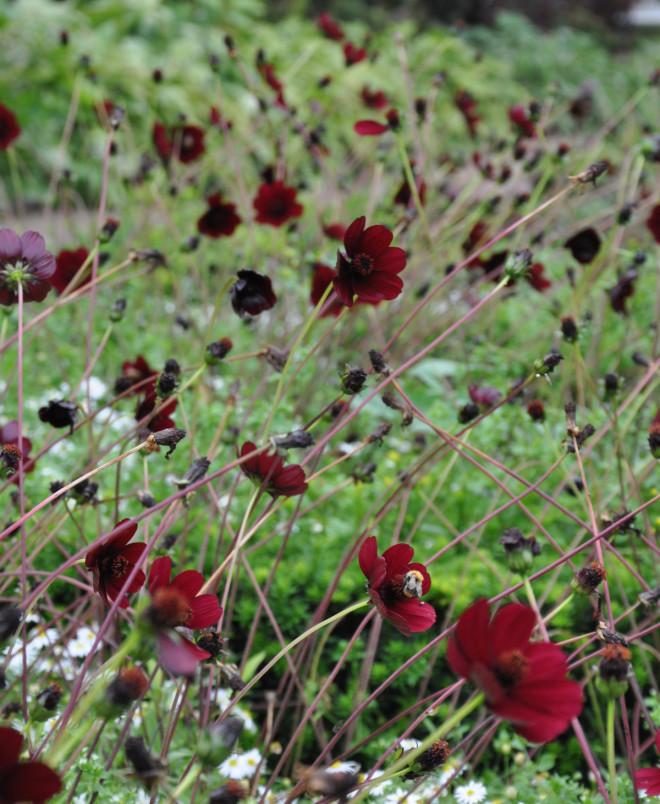 Cosmos är högstjälkade växter som fungerar bra som snittblommor.