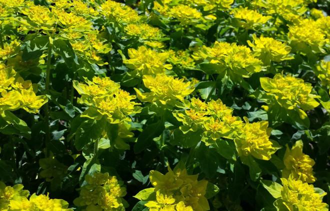 Gulltörel är först gul i blomman, senare brunröd.