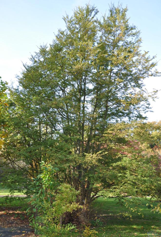 Sydboken blir ofta ett flerstammigt buskträd.