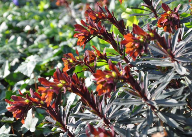 Eldtörel är en tidigblommande växt med kopparröda färgtoner.